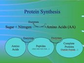 Protein Synthesis