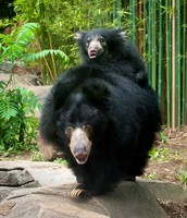Mom sloth bear carrying its baby on its back.