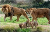 Poblacion de leones