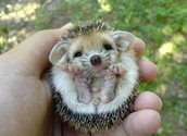 We have the best hedgehogs in town!