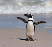 African Penguin Drying Off