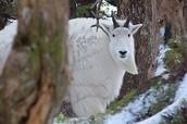 An Alaskan Mountain Goat