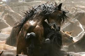Horses eating eachother.
