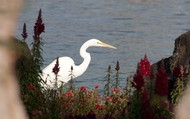 Egret on the golf course