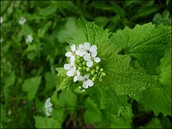 Garlic Mustard Seed Pull - Saturday, April 9th- Sign up by March 30th!