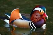 Quaker the duck