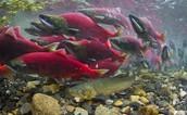 Explore the world of salmon culture!