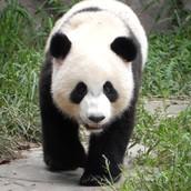 How do Giant Pandas survive?