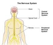 Nervouses system