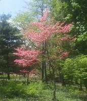 """Un árbol """"dogwood"""""""