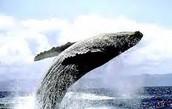 solano Bay- whale season
