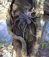 This is a picture of a tree octopus on a tree blending in.