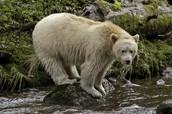 Spirit Bear On A Stream