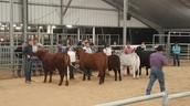 Sheldon FFA Livestock!