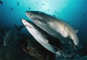 A great white and a tiger Shark side by side