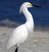 Male Snowy Egret