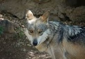 conservation for the mexican gray wolf