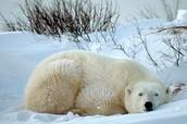 Polar bears life cycle