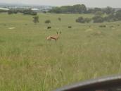 Springbok spotting..