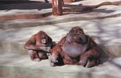 Big Orangutans!!