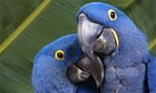 Endangered speies Macaw