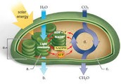 Chloroplast Diagram