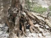 El famoso árbol grande.