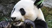 Endangered Panda's