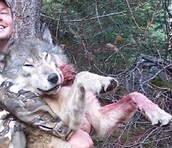 Hunters hunting wolves