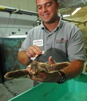 Aquarium curator testing a turtle