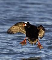 plenty of ducks for hunting at pamlico