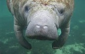 bill the manatee