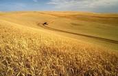 wheat farms