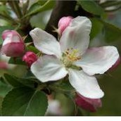 Apple Blossom - Michigan State Flower