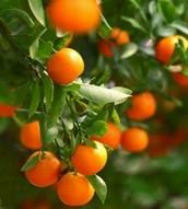 #citrustrees