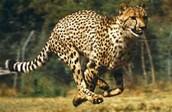 This cheetah is running