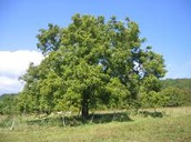 עץ אגוזי מלך