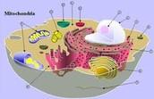 Mitochondria ( Both )