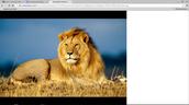 Lions resting.