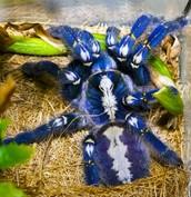 blå Edderkop