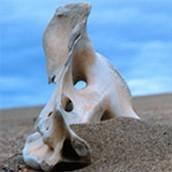 Caribou Bone