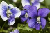 purple-blue flower from the southwest