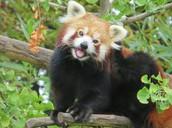 red panda reproduction