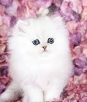 SnowBall Are Kawaii kitten thats for sell