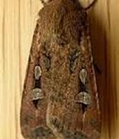 The Bogong Moth