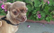 Yozo -- 5 yr old, 5 lb Chihuahua Male