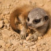 baby Mercat