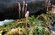 Mourera fluviatilis (Waterfall aquatic plants)