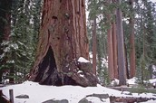 See the GIANT Sequoia Trees