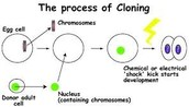 This Shows One of the Processes of Cloning